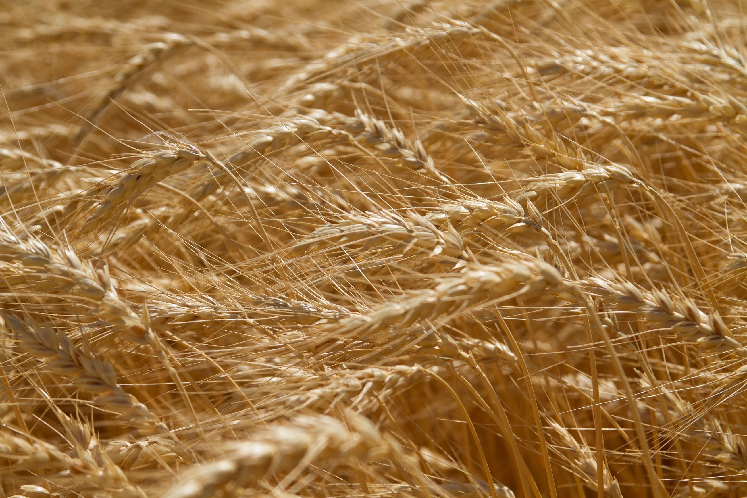 Close up of wheat in a Kansas field